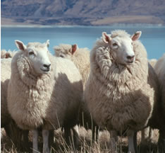 Sheep New-Zealand