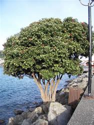 L'arbre Pohutukawa