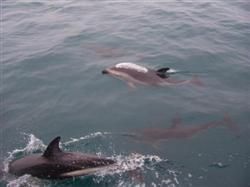Le Whale Watching avec les dauphins de Kaikoura