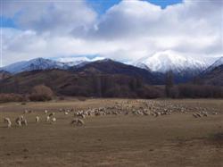 Les moutons et les montagnes de la Nouvelle-Zélande