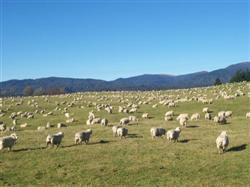 Les moutons de la Nouvelle-Zélande