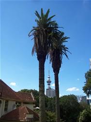 La skytower entre deux palmiers