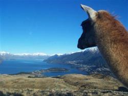 Un lama au dessus du lac wakatipu