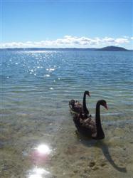 Les cignes du lac rotorua