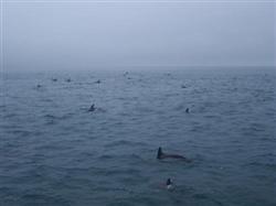 Des milliers de dauphins à Kaikoura