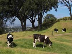 Les vaches du Mont Eden à Auckland